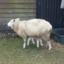 Schaf mit acht beinen